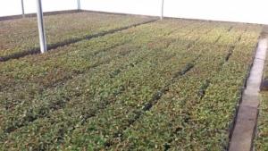 casadevegetacao 300x169 - Processo Produtivo de mudas de eucalipto