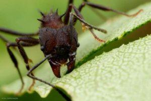formiga 300x200 - Combate à formigas cortadeiras
